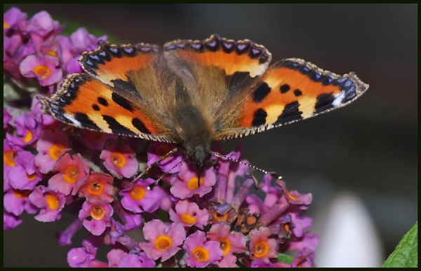 Small Tortoiseshell Nectaring on a Buddleia # by Badgerfred