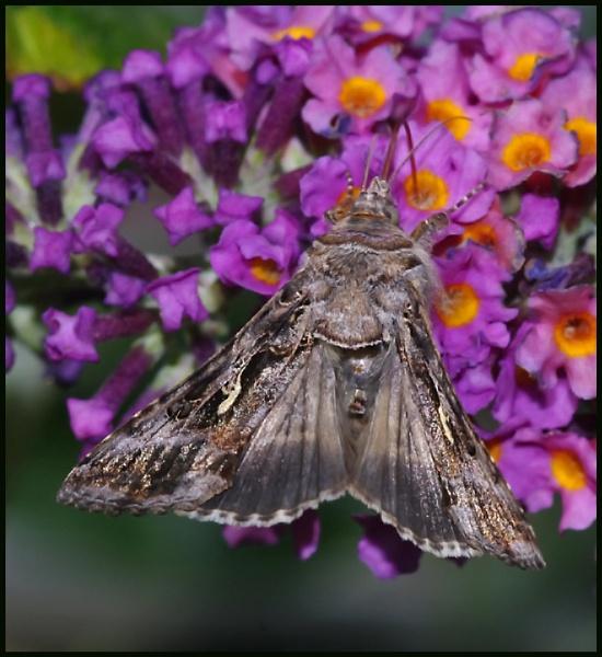 Silver Y Moth 02 # by Badgerfred