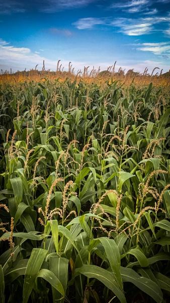 Fields of corn by mmart