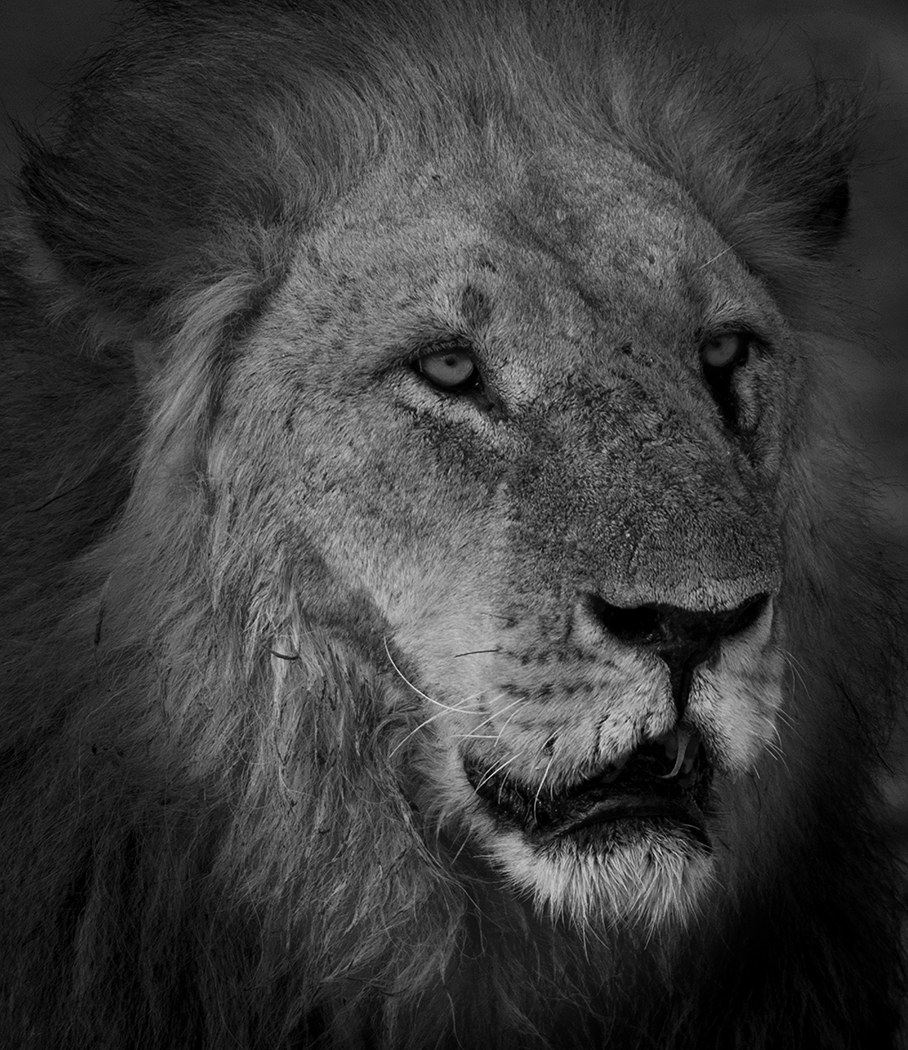 Lion Face in mono
