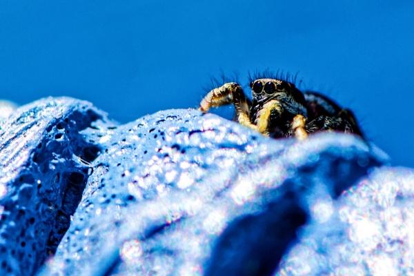 Spider Blue by gerryg