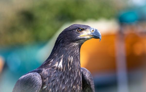 Bald Eagle by bobelle