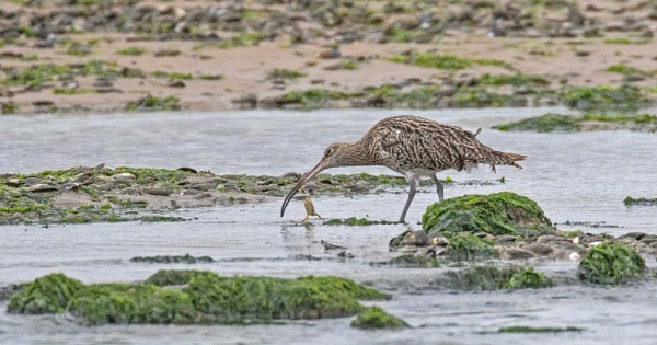 Curlew with crab. by mjparmy