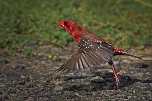 Red avadavat by Shibram