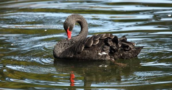 Black Swans by Len1950