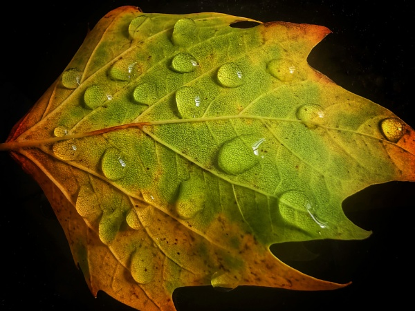 Water drops on autumnal leaf by StevenBest