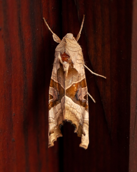 Angle Shades Moth by chriswood