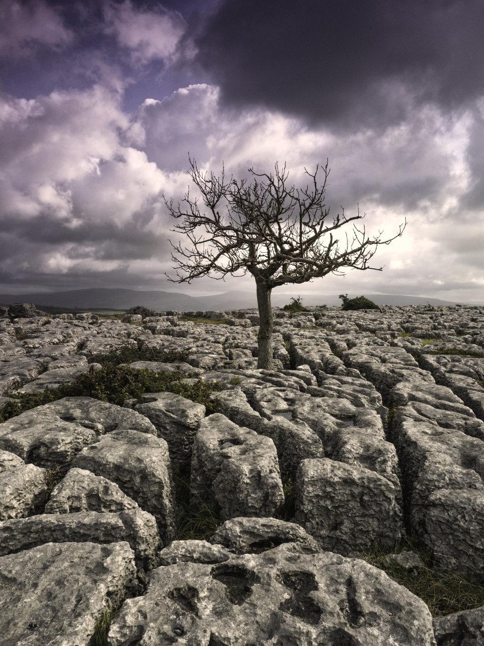 Limestone Tree