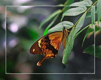 A Male Mocker Swallowtail (Papilio dardanus)  (best viewed large)
