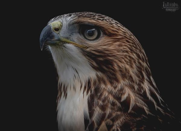 Ferruginous Hawk by MartinWait