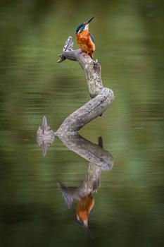 Kingfisher Reflections