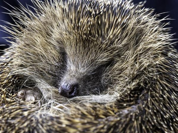 Sleepy Hedgehog by doverpic