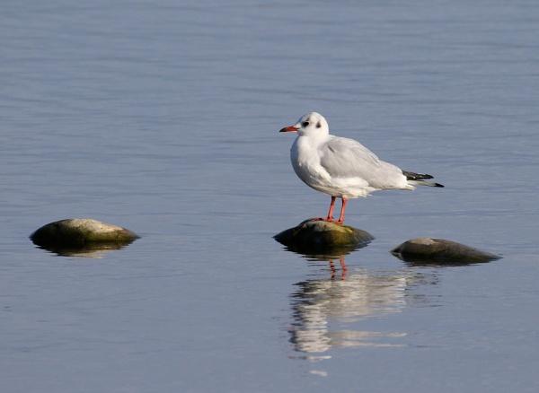 Three Rock Gull by Steveo28