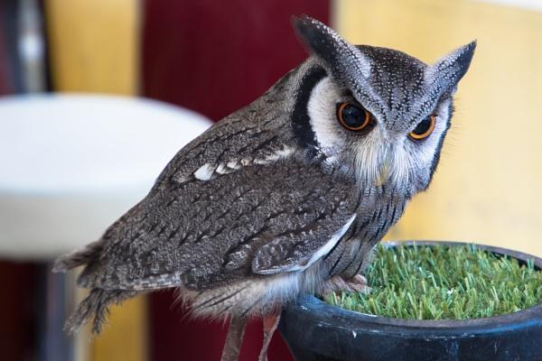 Baby owl by Trekmaster01