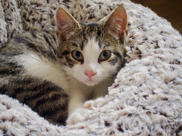 Tabby Kitten by victorburnside