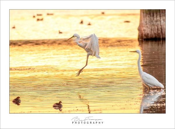 Little Egrets last dip before bedtime by johnnyjohhny