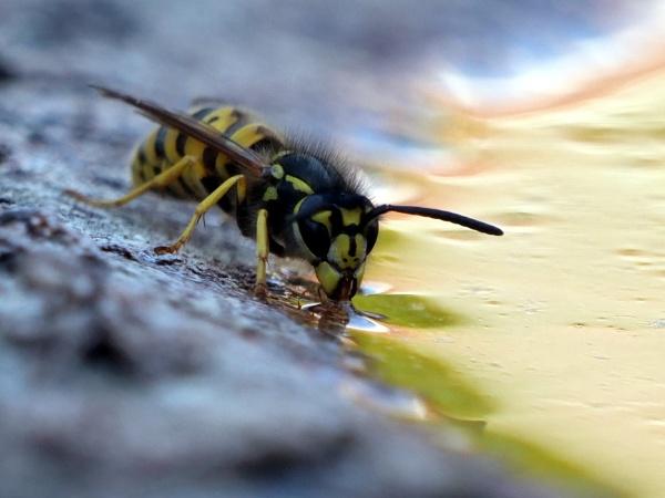 Wasp by DerekHollis