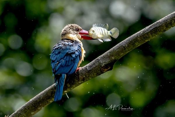 Strok Billed Kingfisher by Pari56
