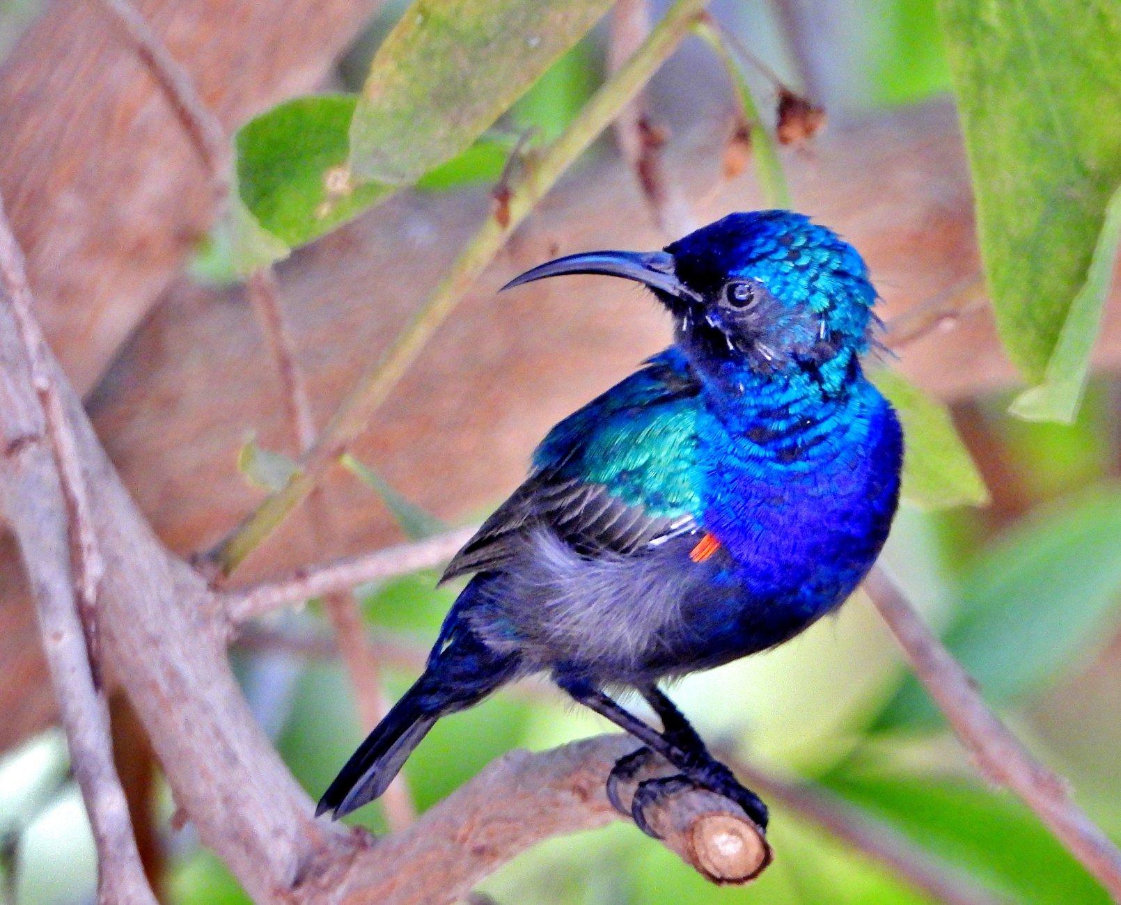 Bird with Indigo color