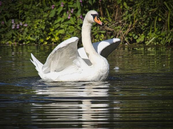 Swan lake by DaveRyder