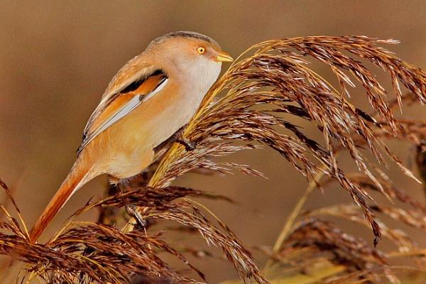 Bearded Reedling--Female. by bobpaige1
