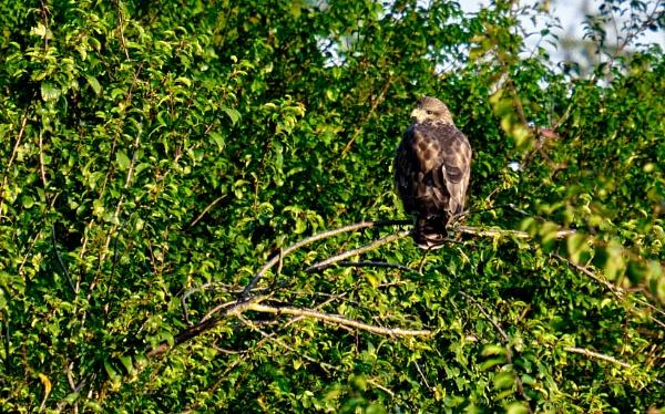 Buzzard in my Garden by kermode111