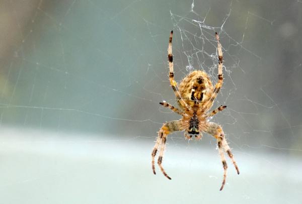 spider by kermode111