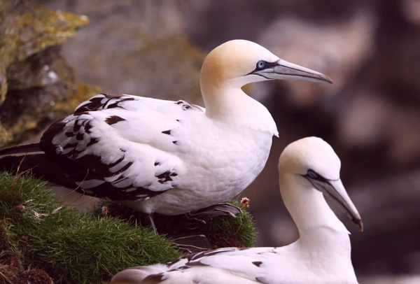 Juvenile Gannets by mikekay
