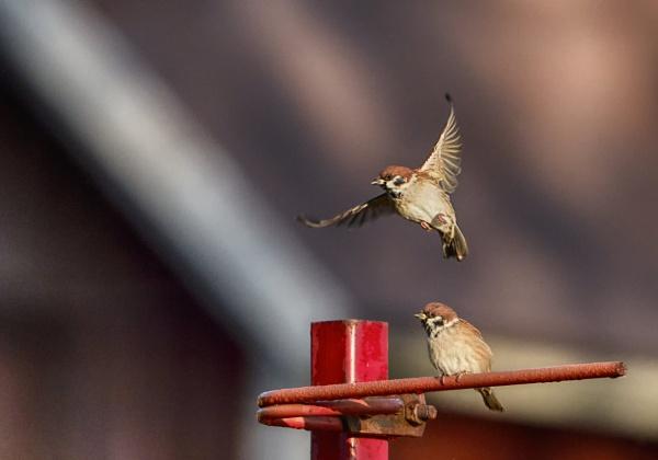 Sparrows in Espoo by hannukon