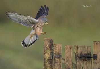 Wild Kestrel, gate landing