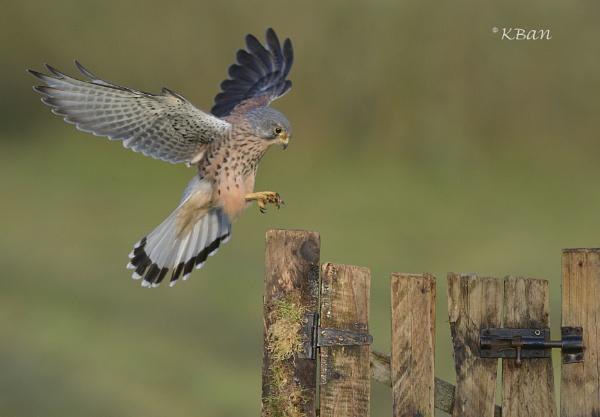 Wild Kestrel, gate landing by KBan