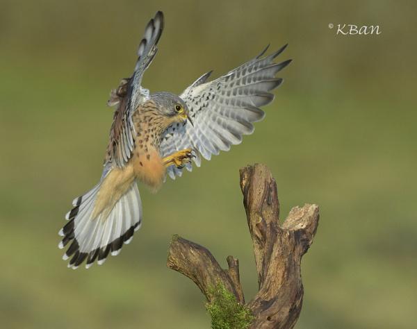 Wild Kestrel  Landing by KBan