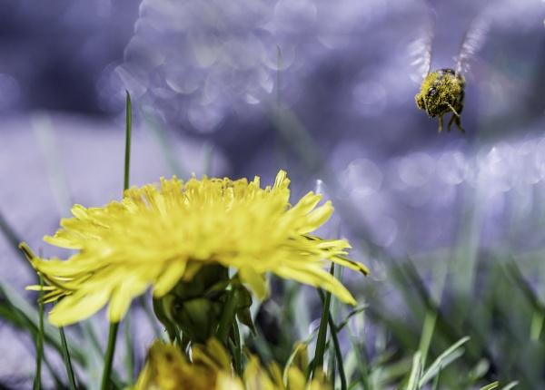 Landing on a dandelion by lagomorphhunter