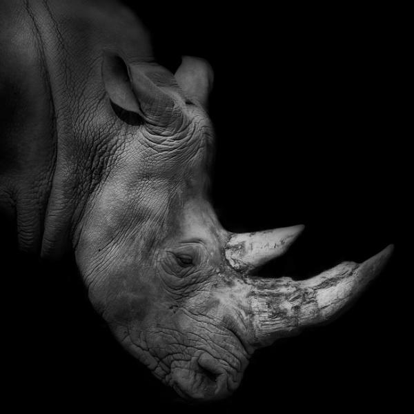 Rhino by DBoardman