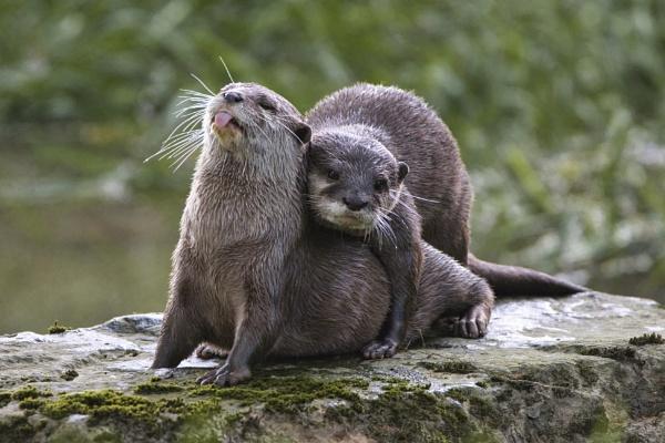 Otter love by PGibbings