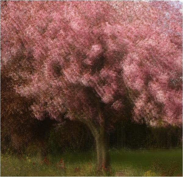 Cherry Blossom by MalcolmM
