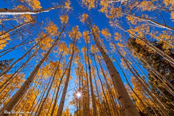 Blazing Stand Of Quaking Aspen Trees At Fall Near Flagstaff, AZ by RayRedstone