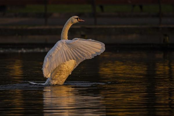 Sunrise Swan by chensuriashi