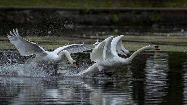 Swan Fight by chensuriashi