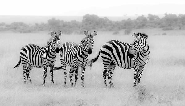 Zebras by JeanE