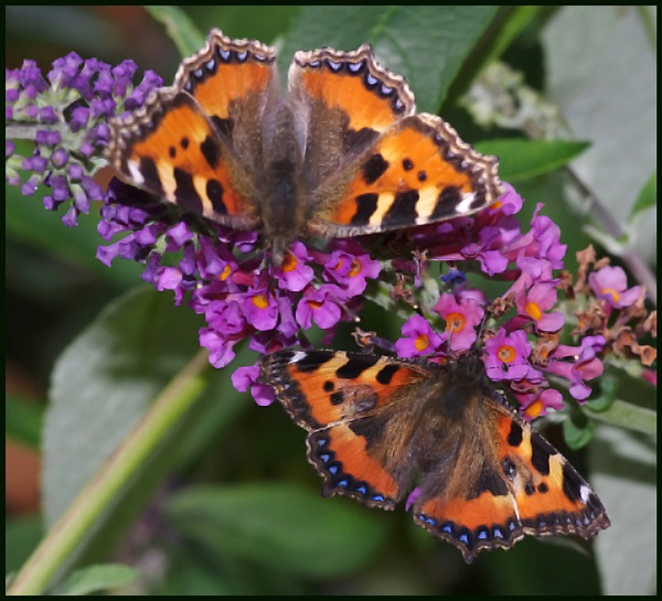 Pair of Small Tortoiseshell\'s on Buddleia ## by Badgerfred