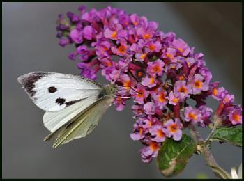 Large White Nectaring on Buddleia ##