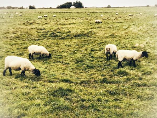 More Sheep! by NikitaMorris