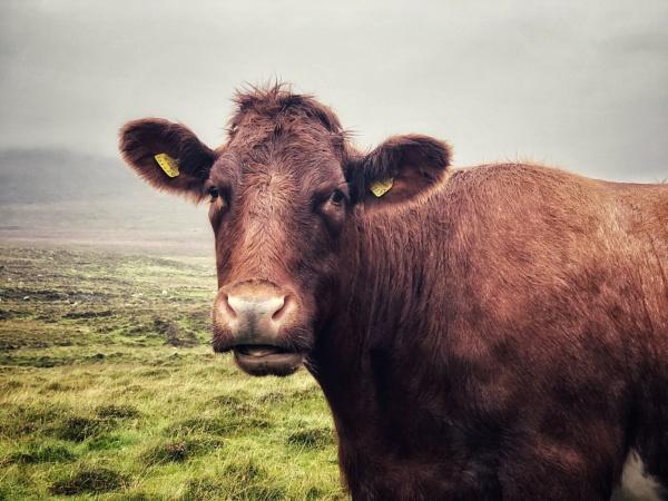 Cow Portrait  by NikitaMorris