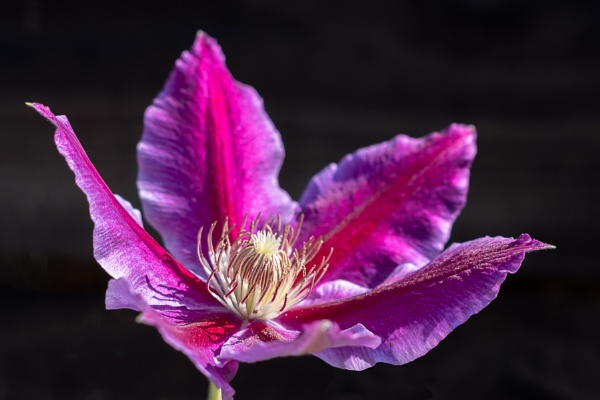 Pink Clematis blooming in the summer sunshine by Phil_Bird