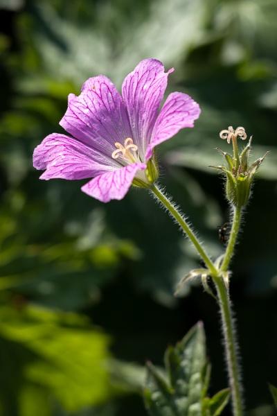 Druce\'s Crane\'s-bill Geranium (Geranium x oxonianum Yeo) floweri by Phil_Bird