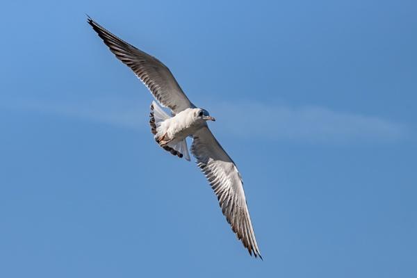 Black-headed gull (Chroicocephalus ridibundus) Flying over Hedge by Phil_Bird