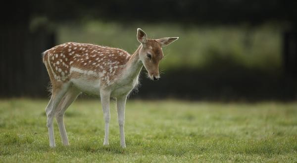 Bambi by Len1950