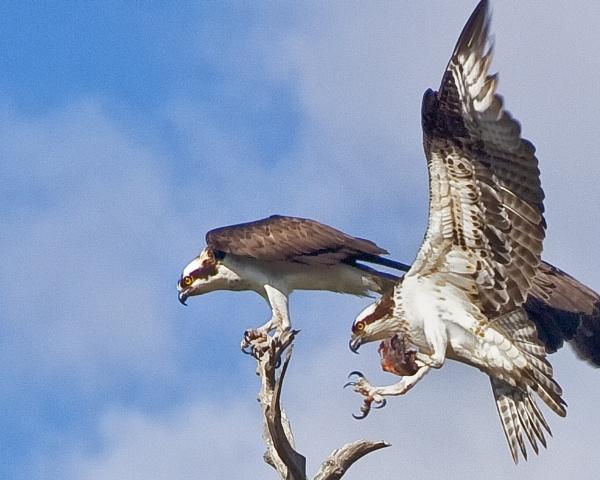 Osprey by jbsaladino