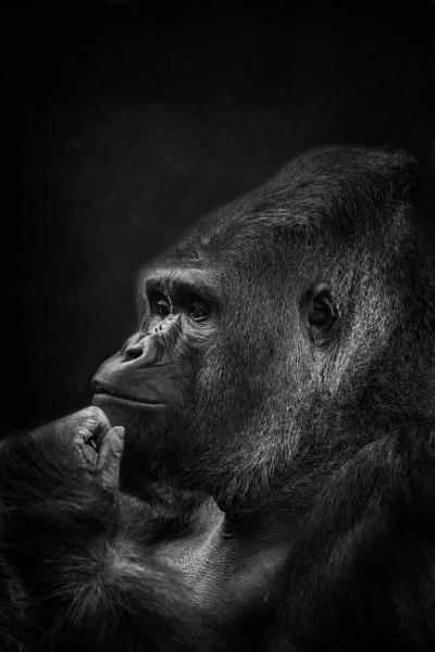 Silverback Gorilla by Pete2453